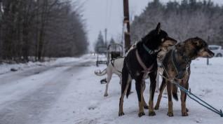 Kutyaszánozás Kecskemét környékén 20 km 1 fő