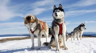 Husky Kutyafogat extra túra Európa-bajnok hajtóval 1 fő